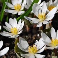 thumb_220px-Bloodroot_(Sanguinaria_canadensis)