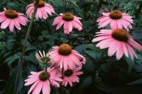thumb_Echinacea_Angustifolia